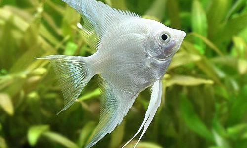 プラチナエンゼルフィッシュの飼育方法(混泳・寿命・繁殖・水草・餌)