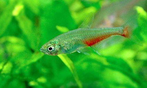 グリーンファイアーテトラの飼育方法(混泳・寿命・繁殖・水草・餌)