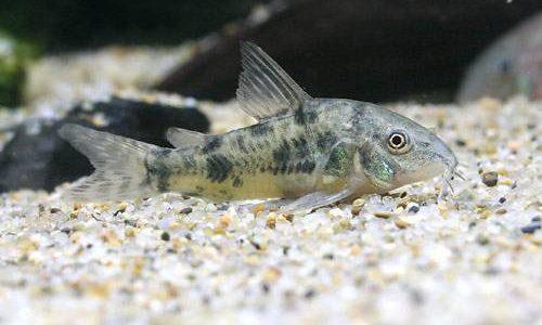 コリドラス・パレアタスの飼育方法(混泳・寿命・繁殖・水草・餌)