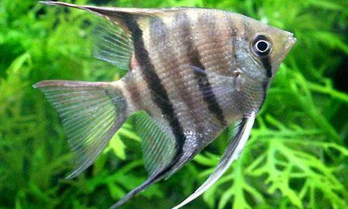 ドゥメリリ・エンゼルフィッシュの飼育方法(混泳・寿命・繁殖・水草・餌)