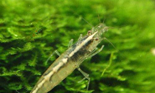 トゲナシヌマエビの飼育方法(混泳・寿命・繁殖・水草・餌・水温)