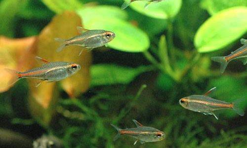 グローライトテトラの飼育方法(混泳・寿命・繁殖・水草・餌)