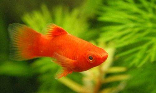 レッドプラティの飼育方法(混泳・寿命・繁殖・水草・餌)