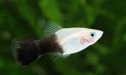 パンダプラティの飼育方法(混泳・寿命・繁殖・水草・餌)
