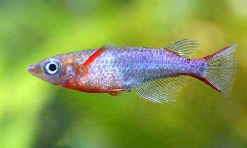 オリジアス・ウォウォラエの飼育方法(混泳・寿命・繁殖・水草・餌)