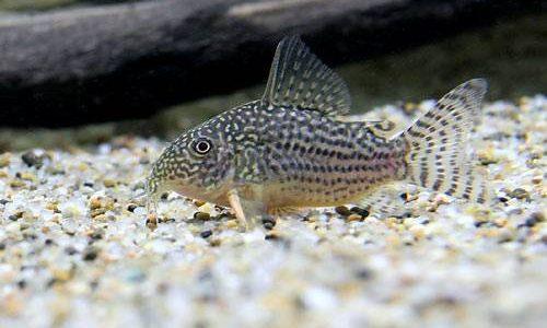 コリドラス・ステルバイの飼育方法(混泳・寿命・繁殖・水草・餌)