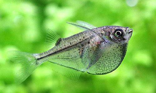 シルバーハチェットの飼育方法(混泳・寿命・繁殖・水草・餌)